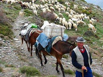 Foto vom Schäfer mit seinem Pferd und seien Shcafen auf Wanderschaft
