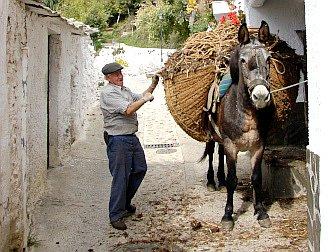 Foto vom Bauern mit seinem Maultier und einer Ladung Holzes