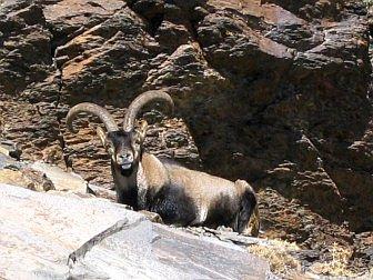 Foto vom Steinbock zwischen den Felsen