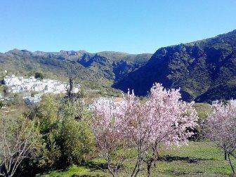 Foto von der Mandelblüte in den Alpujarras mit Ferreirola im Hintergrund