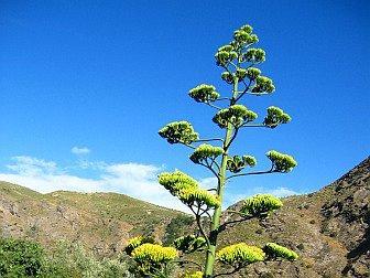 Foto von einer Blüte der Algave